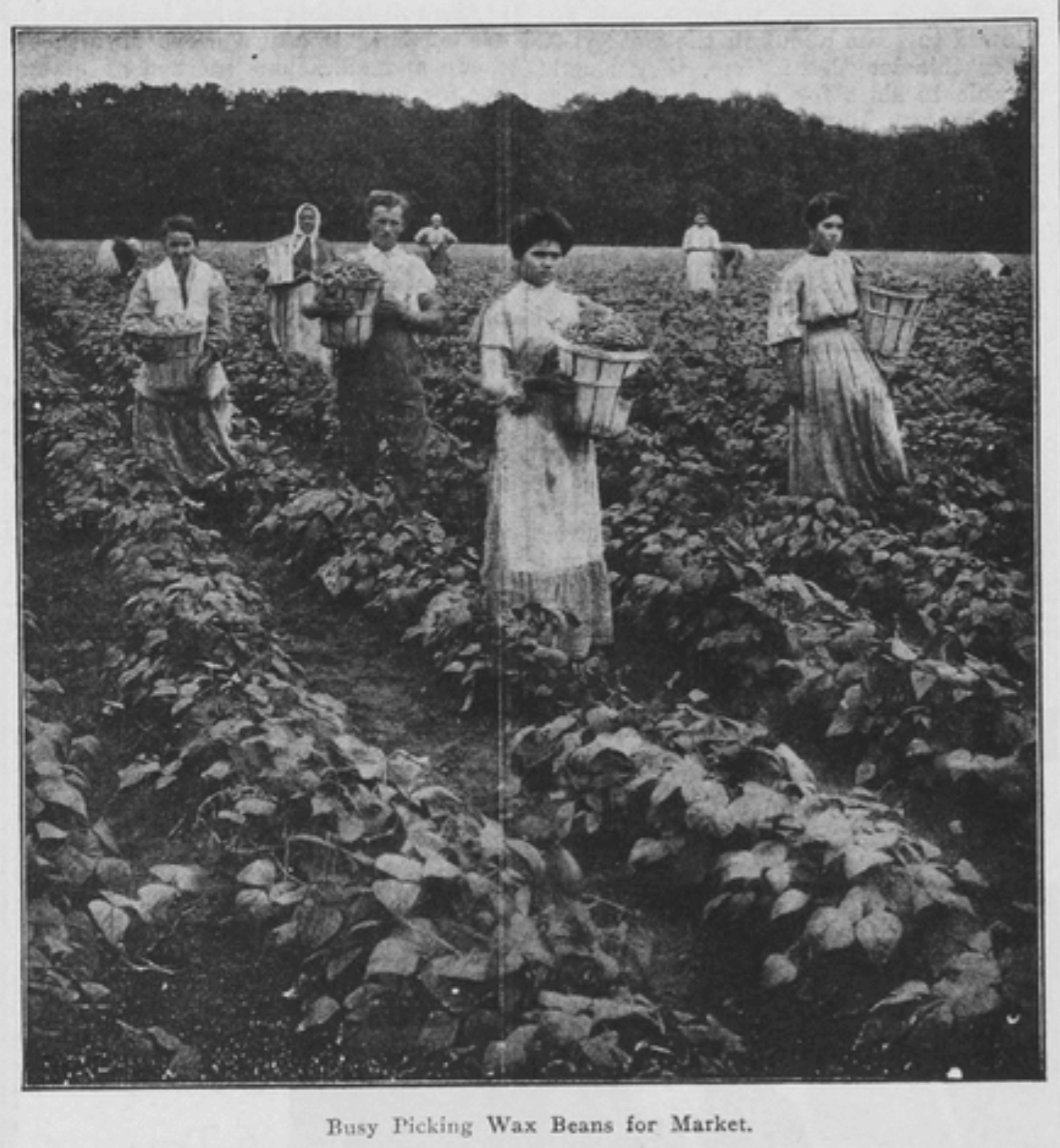 """Busy Picking Wax Beans for Market,"" Western Home Monthly, May 1914, 67."