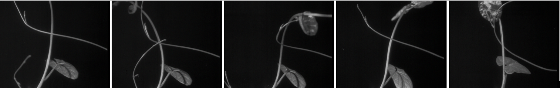 The dodder attempts to wind around the convolvulus plant, which moves to evade it. The Strangler, directed by F. Percy Smith, British Instructional Films, 1930.