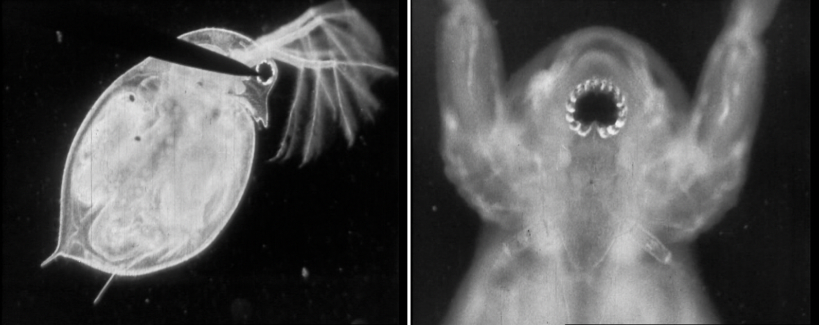 The water flea in profile (top) and frontal view (bottom). Water Folk, British Instructional Films, 1931.